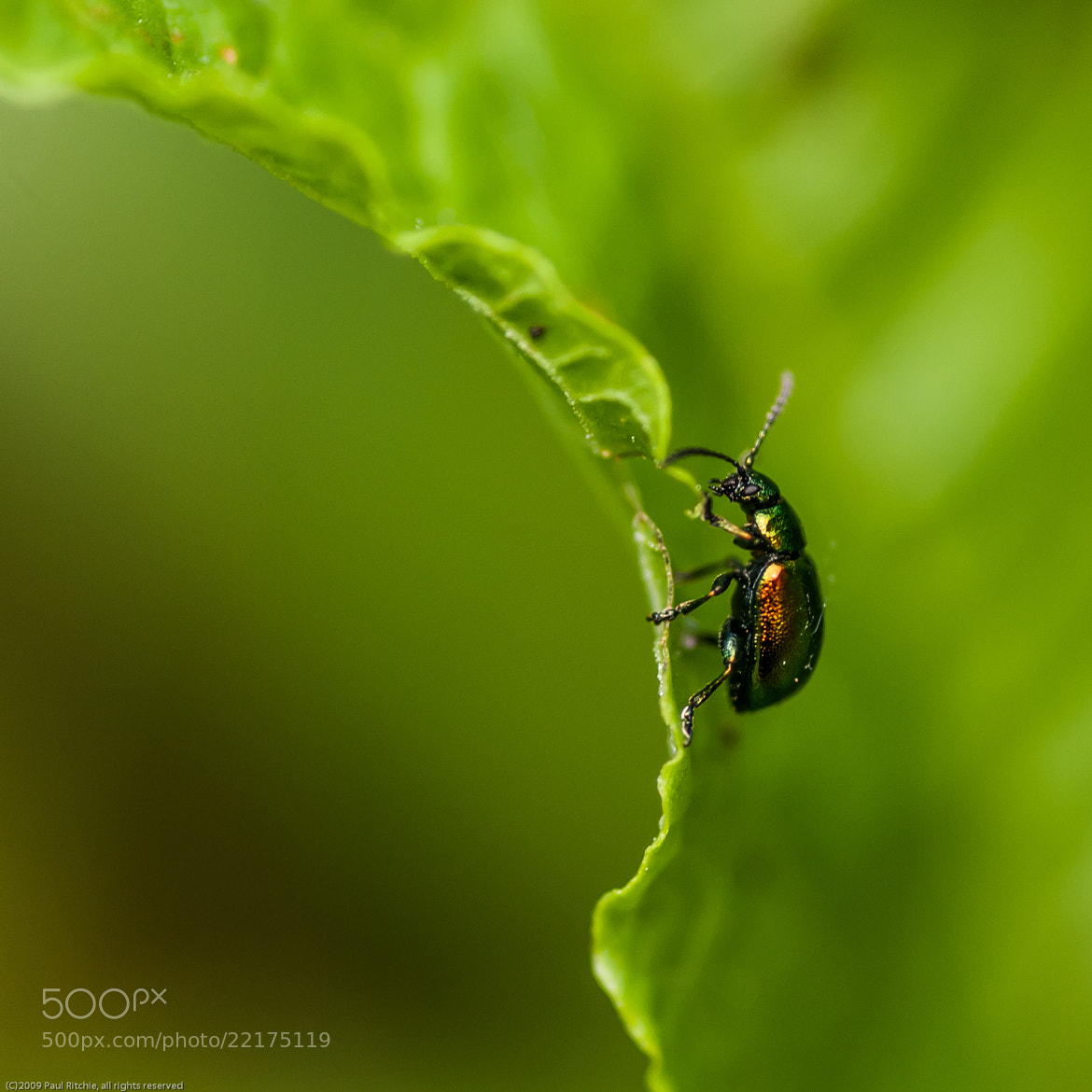 Photograph Green Dock Beetle by Paul Ritchie on 500px