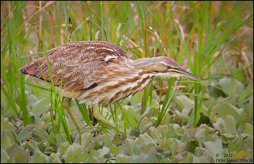 Photograph Stealthy American Bittern by Don  Hamilton Jr. on 500px