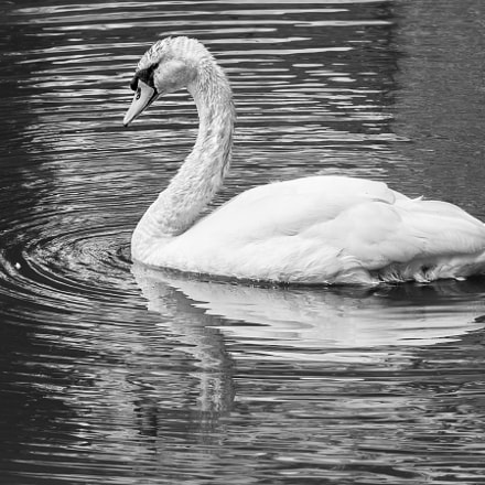 His majesty, The Swan