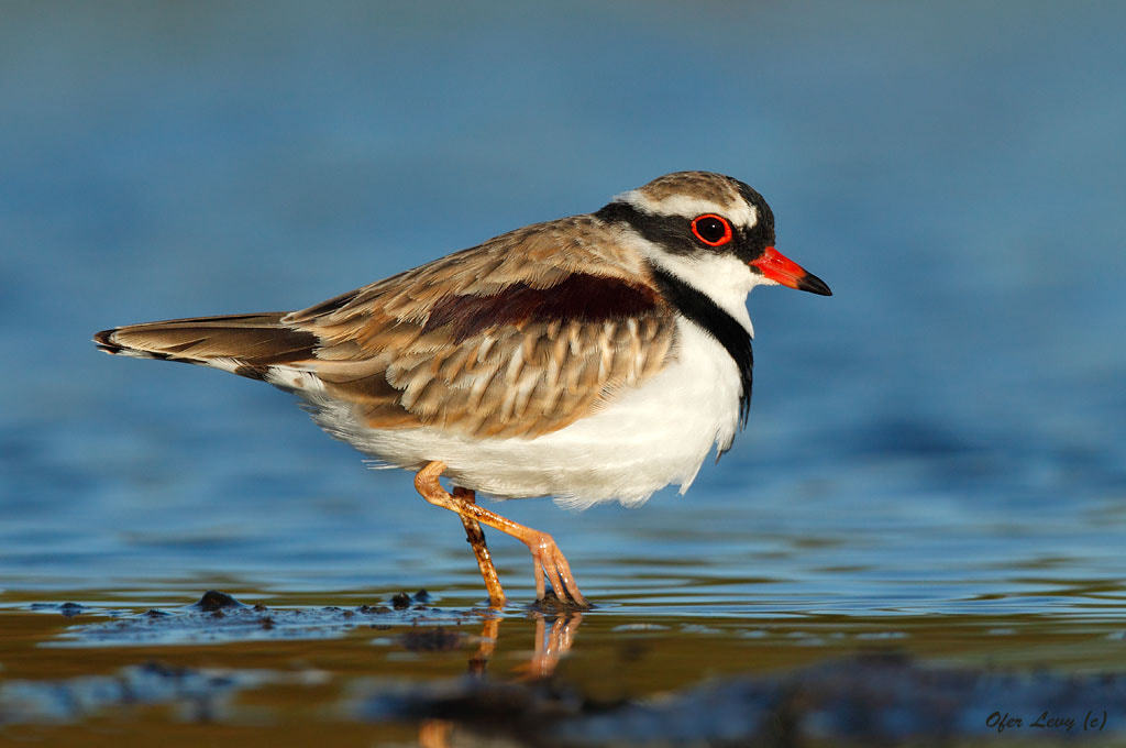 Photograph Black-fronted Dotterel II by Ofer Levy on 500px
