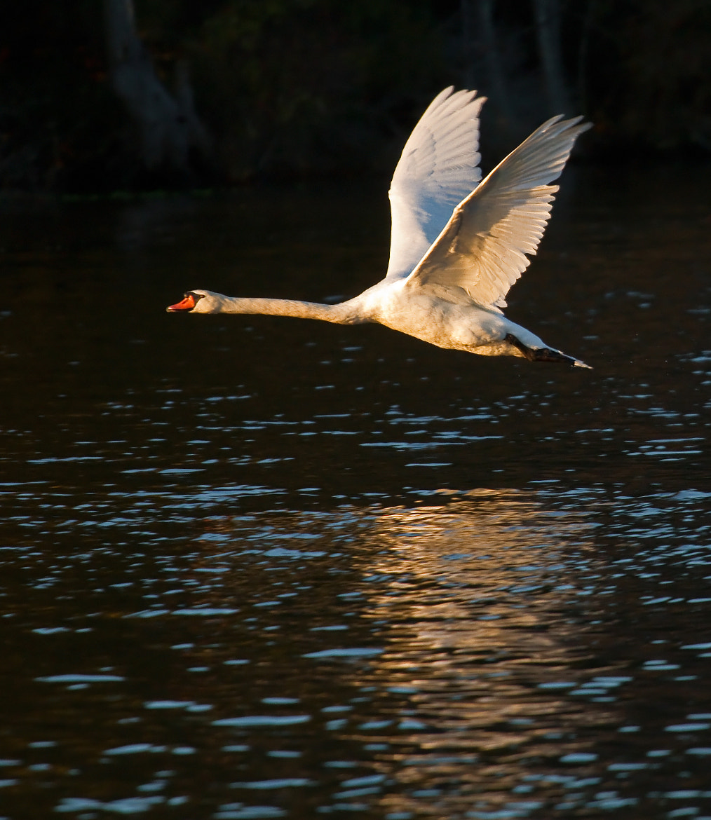 Photograph Flight of the Swan by Lorraine Hudgins on 500px