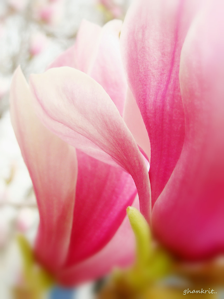 Photograph Magnolia by Amy Smith on 500px