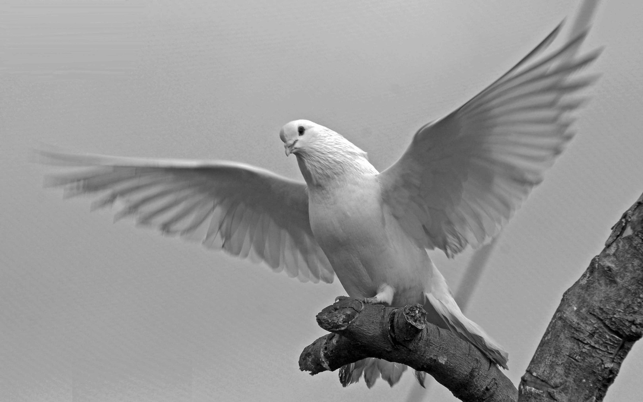 Photograph white dove by Abder Elgarh on 500px