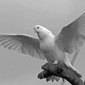 white dove by Abder Elgarh (AbderElgarh)) on 500px.com