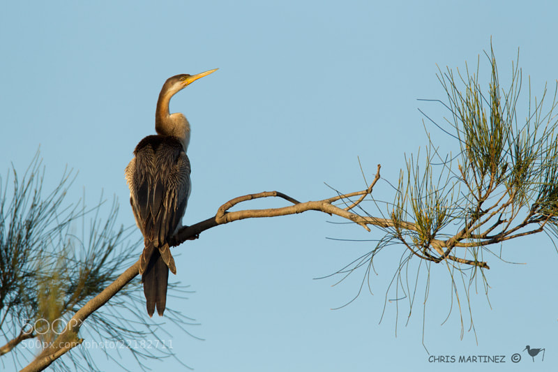 Photograph Australasian Darter by Chris Martinez on 500px