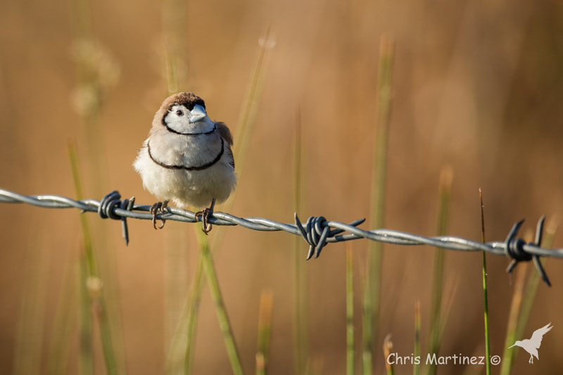 Photograph Double-barred Finch by Chris Martinez on 500px