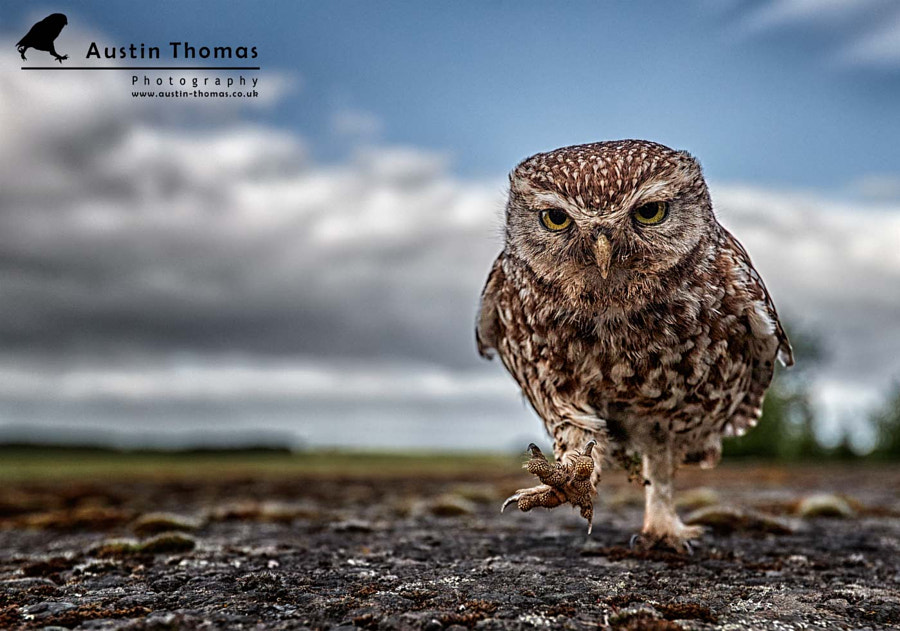 A Wide-angle Little Owl.