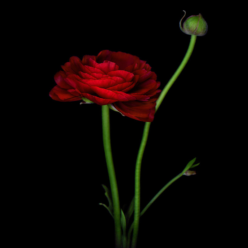 Photograph A WEALTH of BEAUTY... RED RANUNCULUS by Magda Indigo on 500px