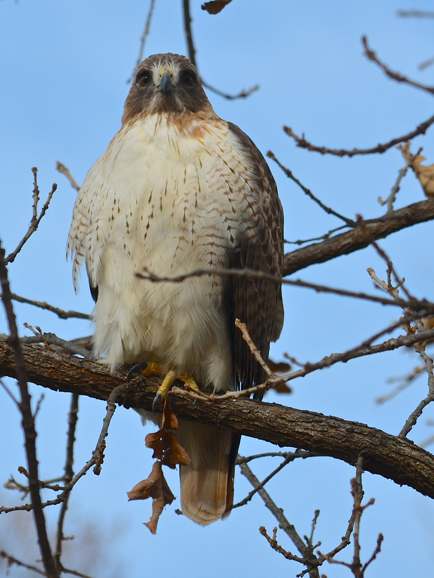 Photograph Red-tailed Hawk by Steven Bach on 500px