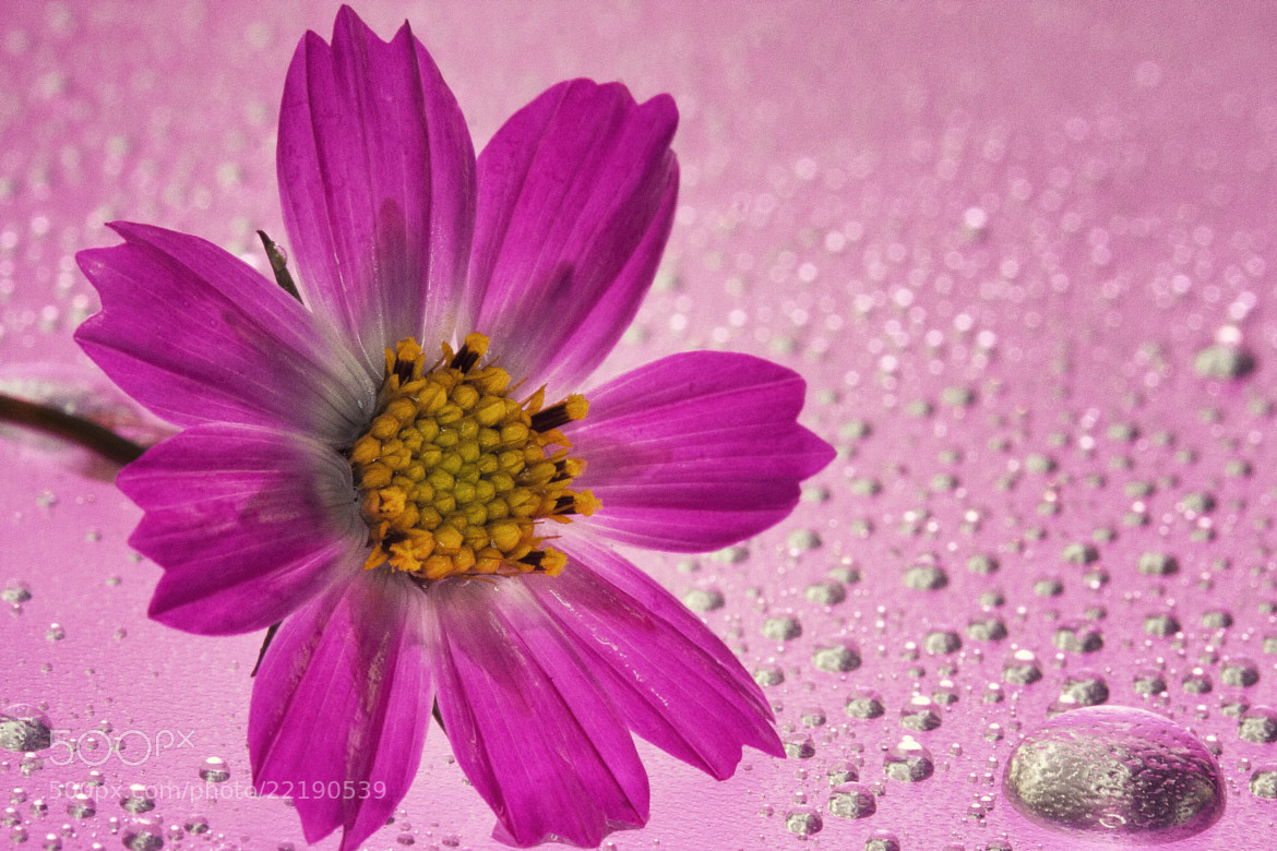 Photograph cosmos by kiki_chi  on 500px