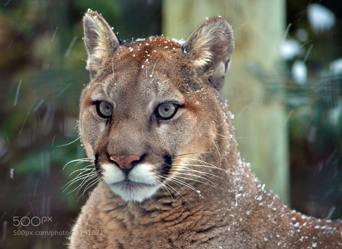 Photograph Cougar by Arvo Poolar on 500px