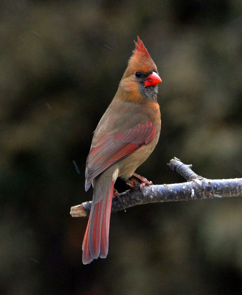 Photograph Female Northern Cardinal by Arvo Poolar on 500px