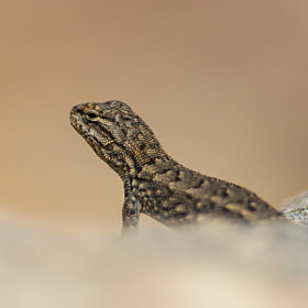 .: Northern Plateau Lizard :. by Jon Rista (JonRista)) on 500px.com