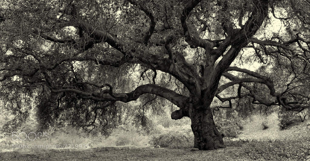 Photograph Majestic Oak by Ken Ford on 500px
