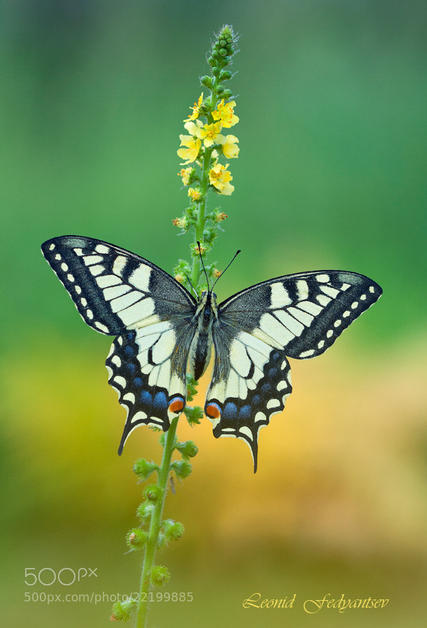 Photograph Etude With Swallowtail by Leonid Fedyantsev on 500px