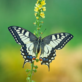 Etude With Swallowtail by Leonid Fedyantsev on 500px.com