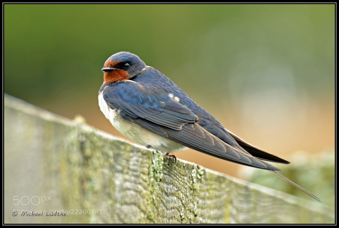 Photograph Swallow by Michael Lüdtke on 500px