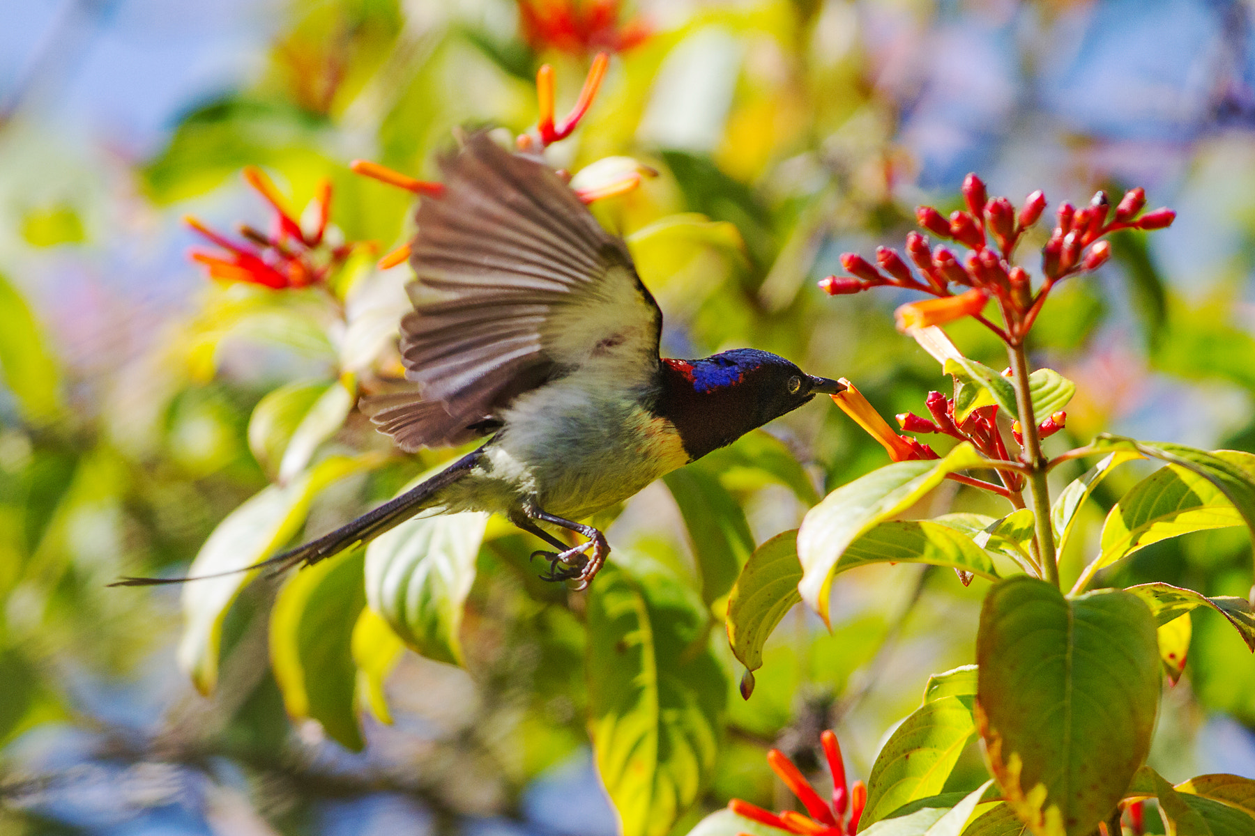 Photograph Black-throated Sunbird by Suppalak Klabdee on 500px