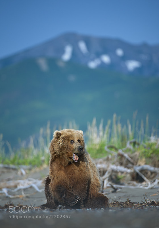 Photograph Brown Bear by Mirek Zítek on 500px