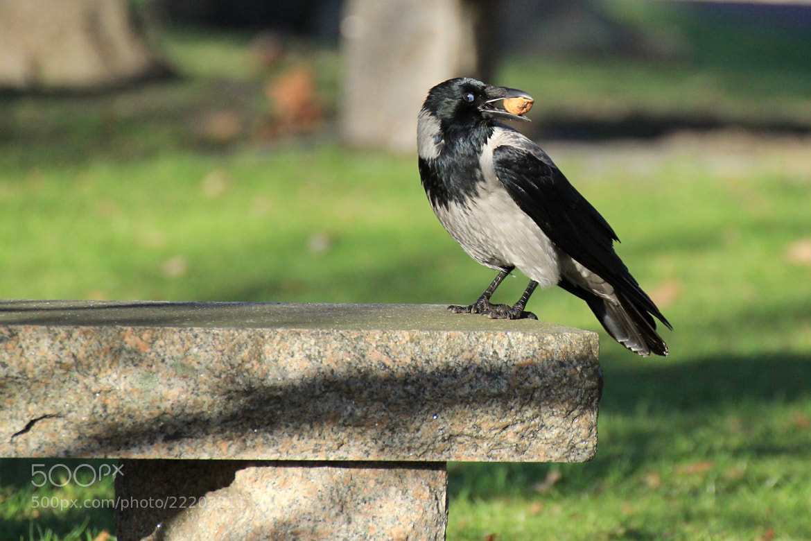 Photograph a nut for a crow by Ralf Muhl on 500px