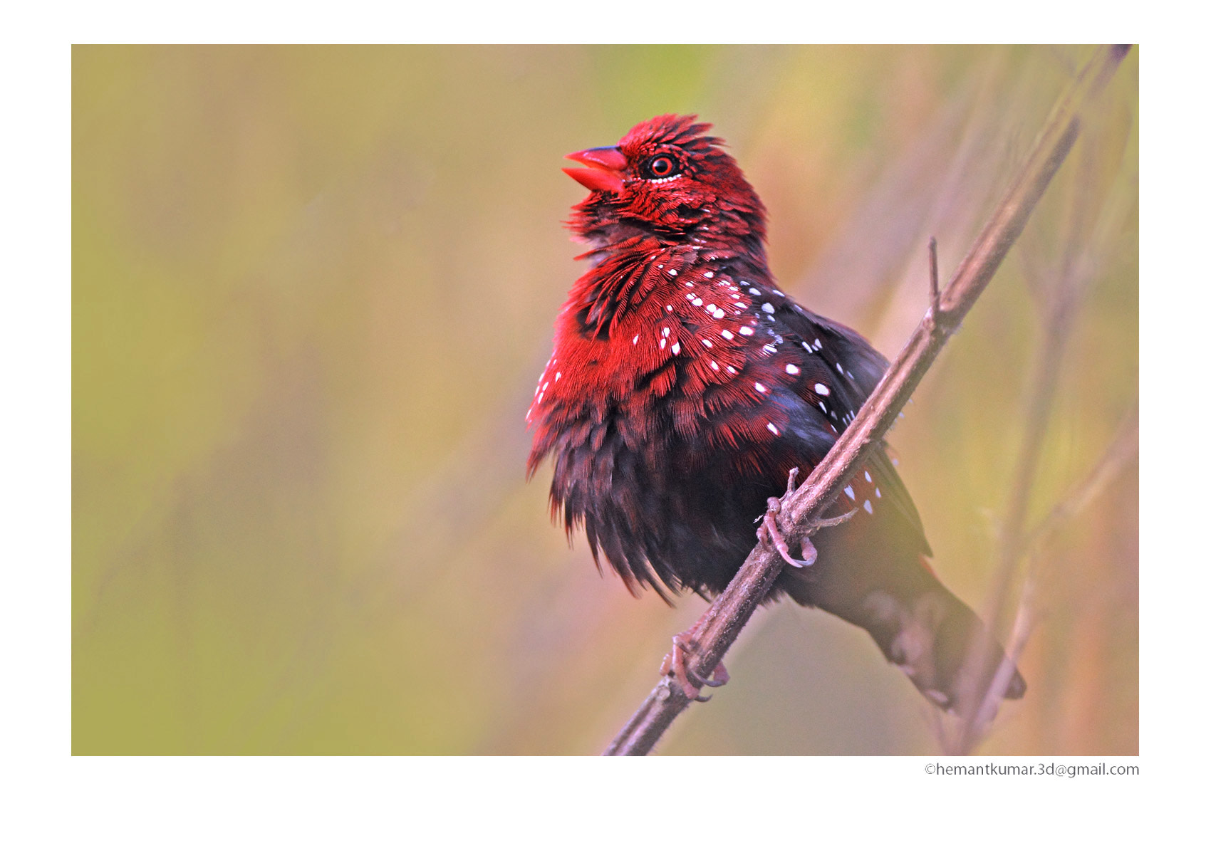 Photograph Red Avadavat by Hemant Kumar on 500px