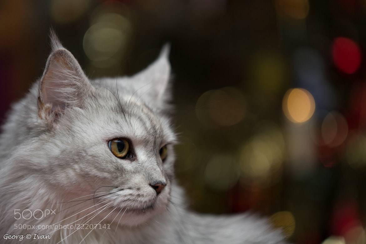 Photograph Hera (Maine Coon) by Georg Ivan on 500px