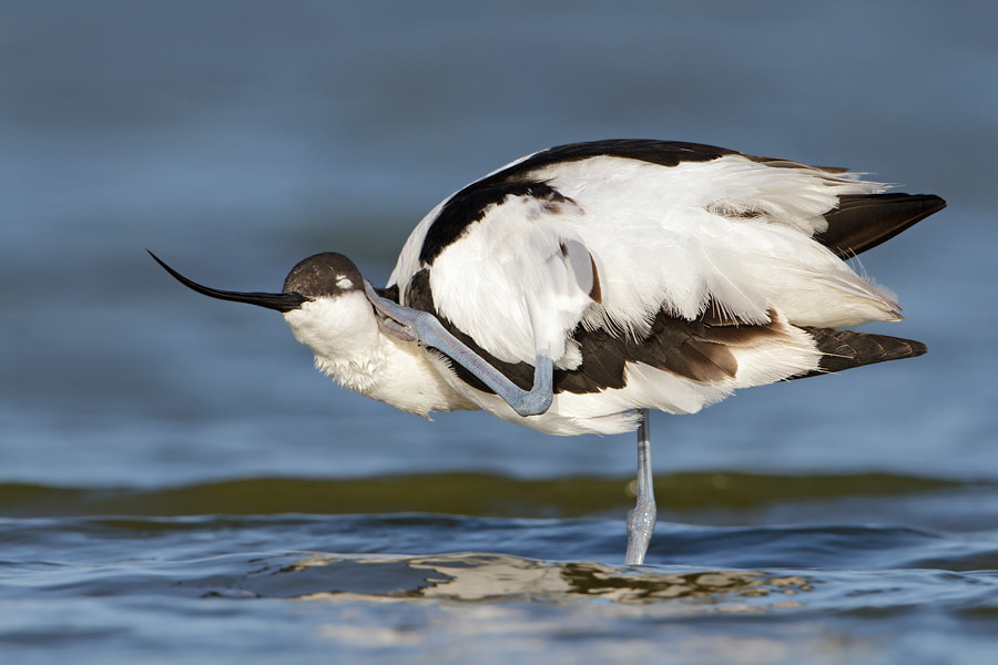 Photograph Avocet by Jan Westerhof on 500px