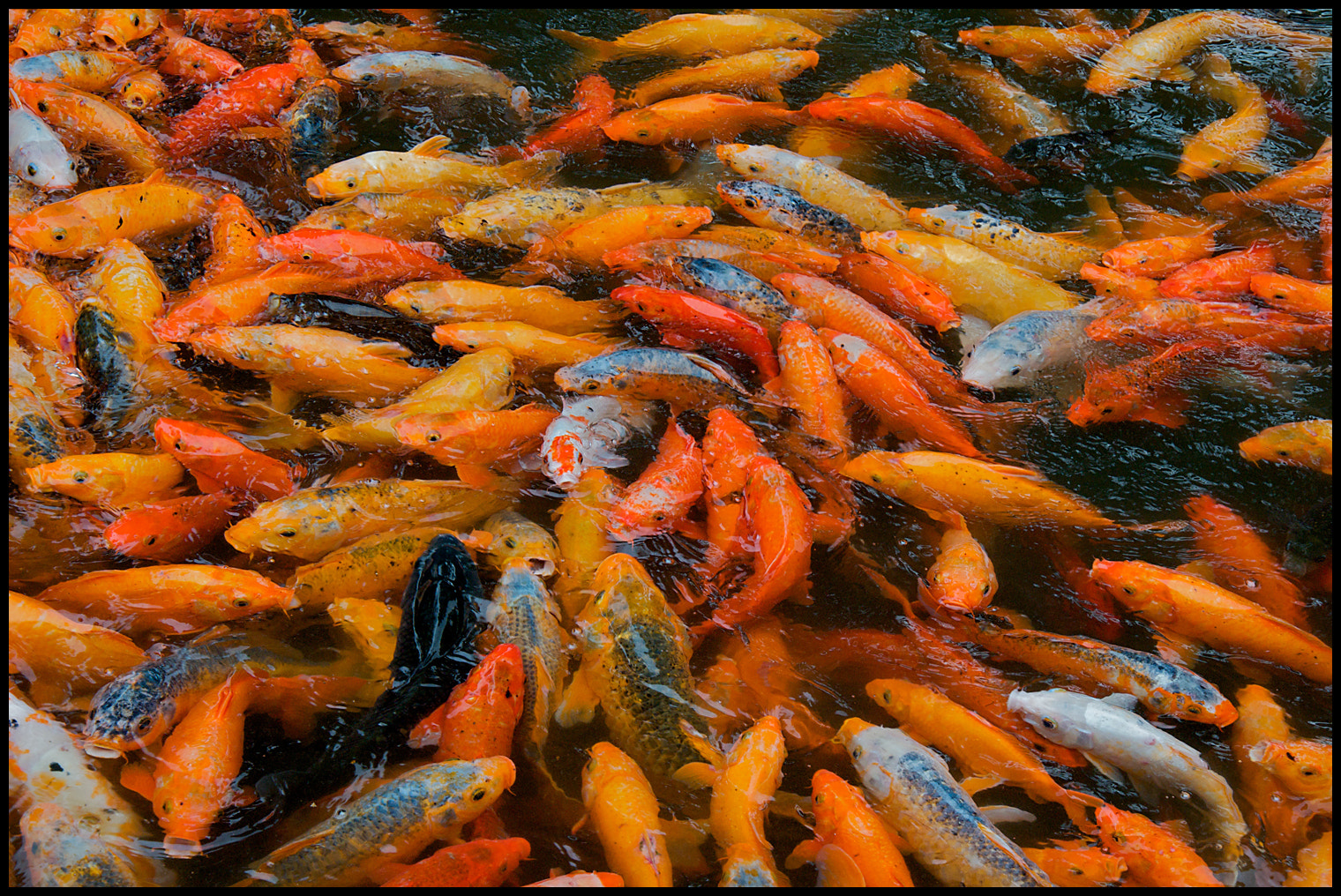 Photograph Hungry Hungry Koi Fish by vovamir on 500px