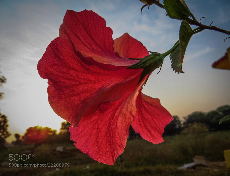 "Photograph Hibiscus ""shoe flower"" by Prashant Gupta on 500px"