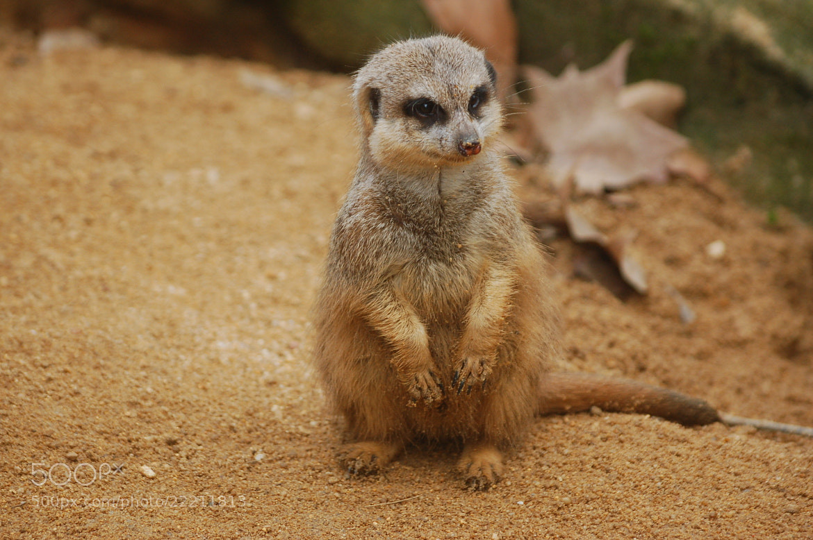 Photograph Suricate by Nuno Vicente on 500px