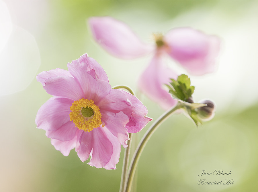 Anemone by Jane Dibnah on 500px.com