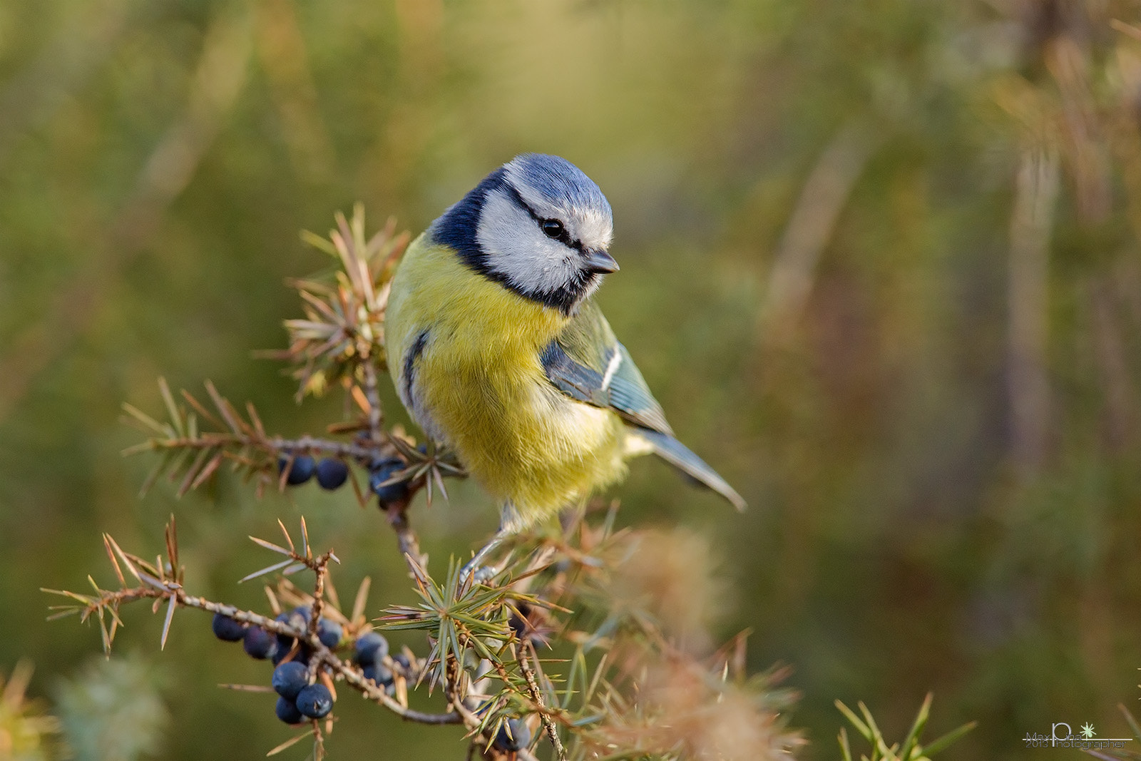 Photograph Blue tit by Massimo Dadone on 500px