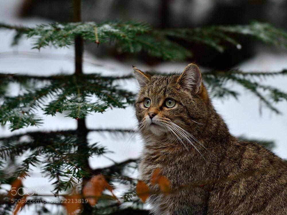 Photograph Wildcat by Zoltan Hagen on 500px
