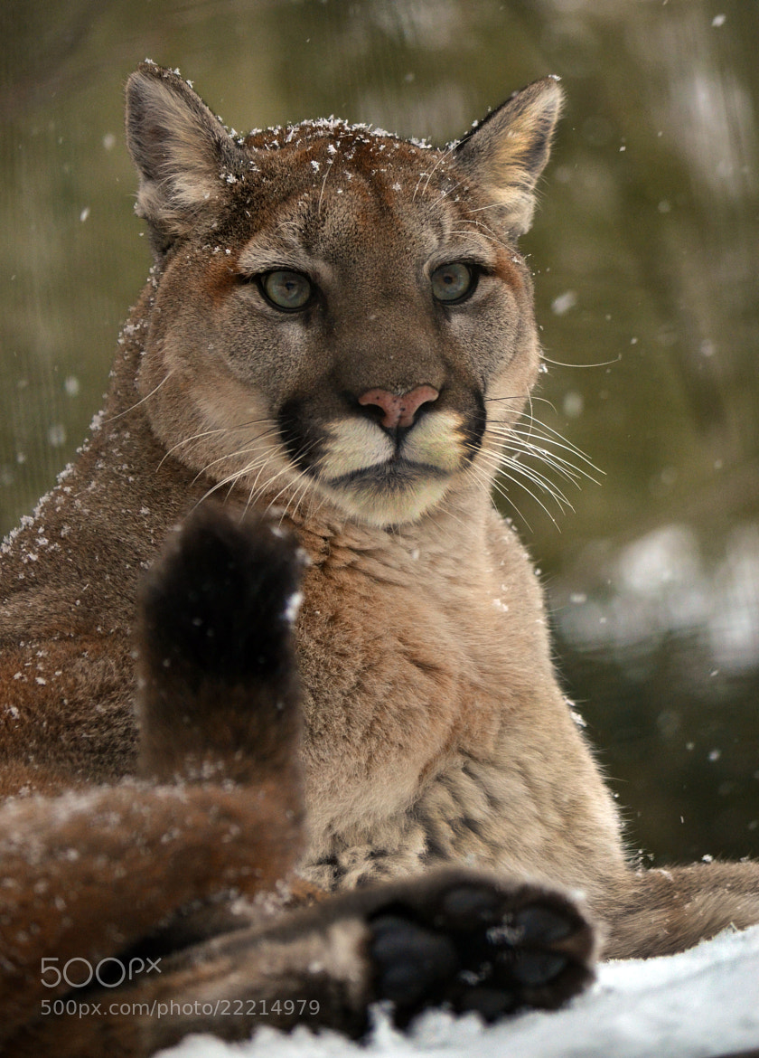 Photograph Canadain Cougar - Puma by Arvo Poolar on 500px