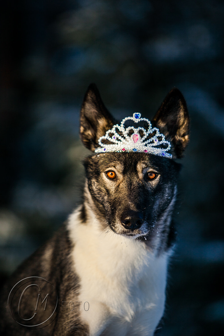 Photograph Queen wolf by Cilje Moe on 500px