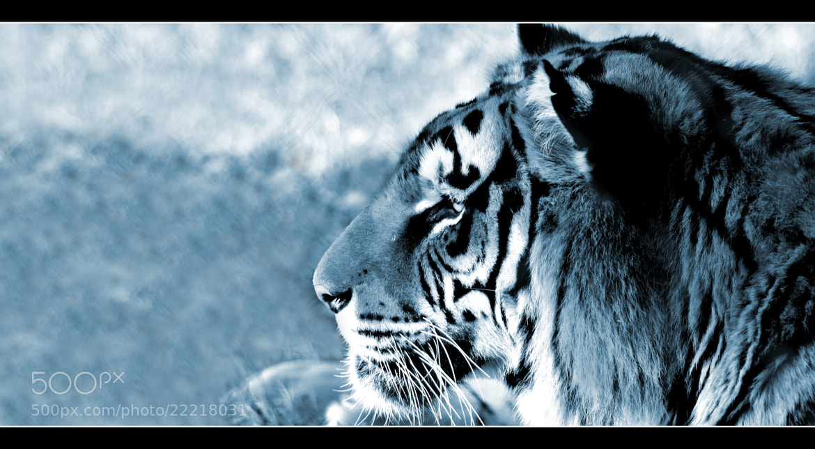 Photograph EYE OF TIGER by Sébastien Chambre on 500px