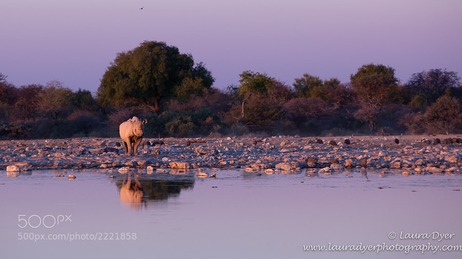 This black Rhino came down to drink late one evening. I loved the colours, so wanted to include as much environment as possible in the shot. It was very special for me to see one in the open like this, as Black Rhino are usually shy animals.