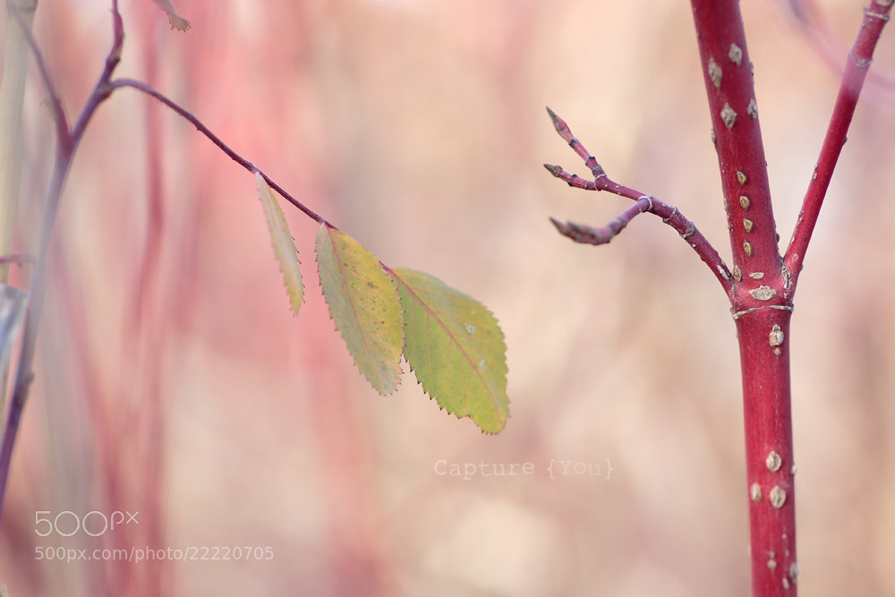 Photograph Soft Leaves by Crystal Samson on 500px