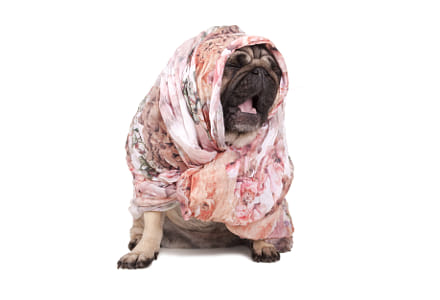 cute pug puppy dog with headscarf sitting down yawning, isolated on white background