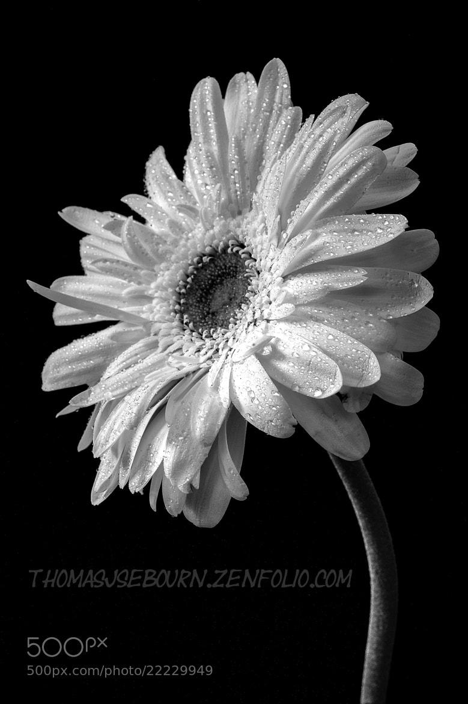 Photograph Gerbera Daisy B&W by Thomas Sebourn on 500px