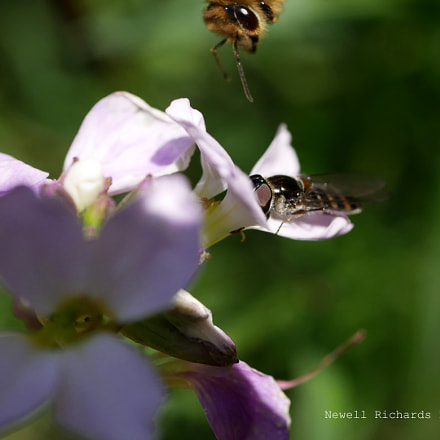 Hover Fly photo bombed by Honey Bee (Large)
