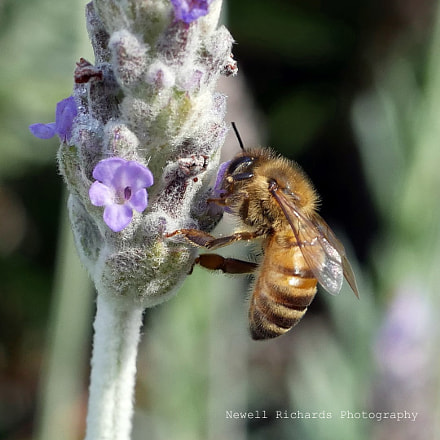 Honey Bee on Lavender (Large)
