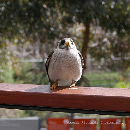 Noisy Miner hoping for a feed () (Large)