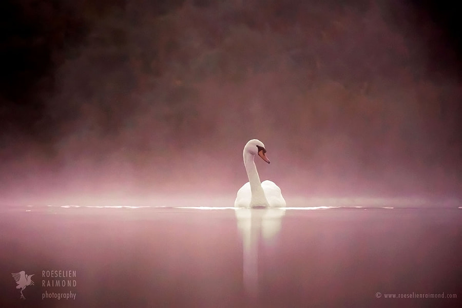 "Wildlife Photograph ""Something About Swans"" by Wildlife Photographer Roeselien Raimond on 500px.com"