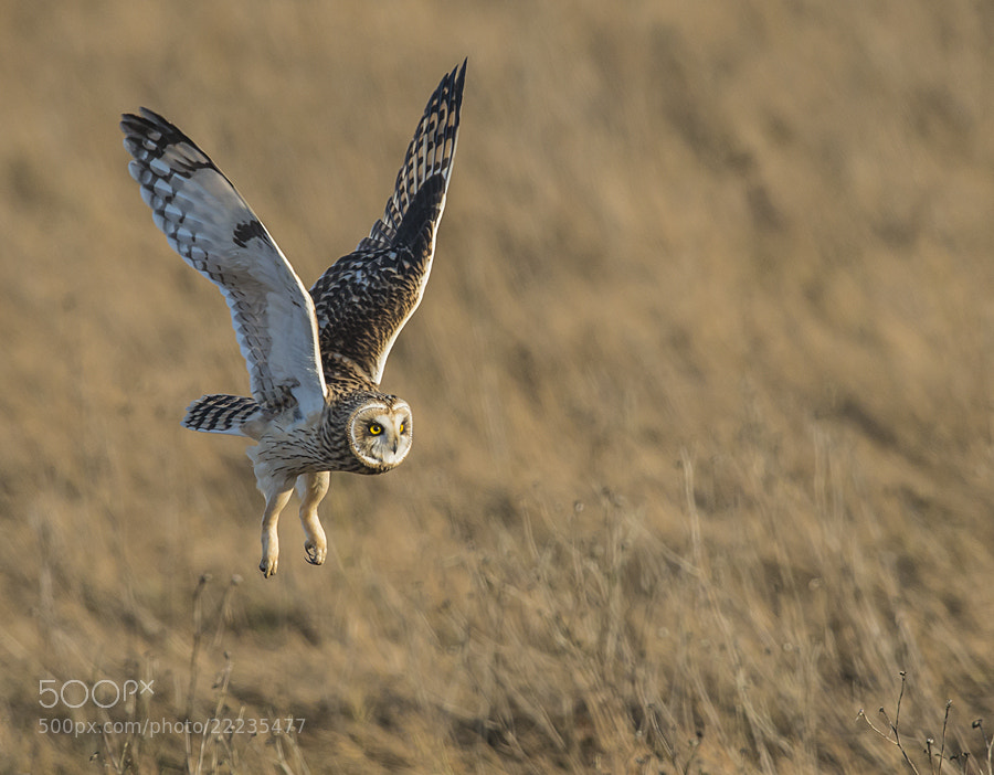 Photograph Short Eared Owl by Dan Newcomb on 500px