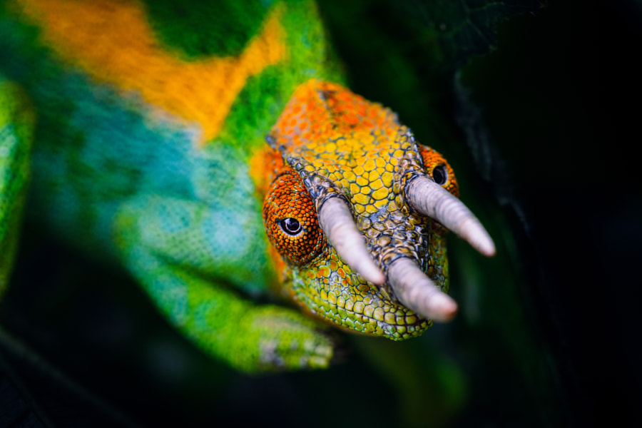 Rwenzori three-horned chameleon by Jonne Seijdel on 500px.com