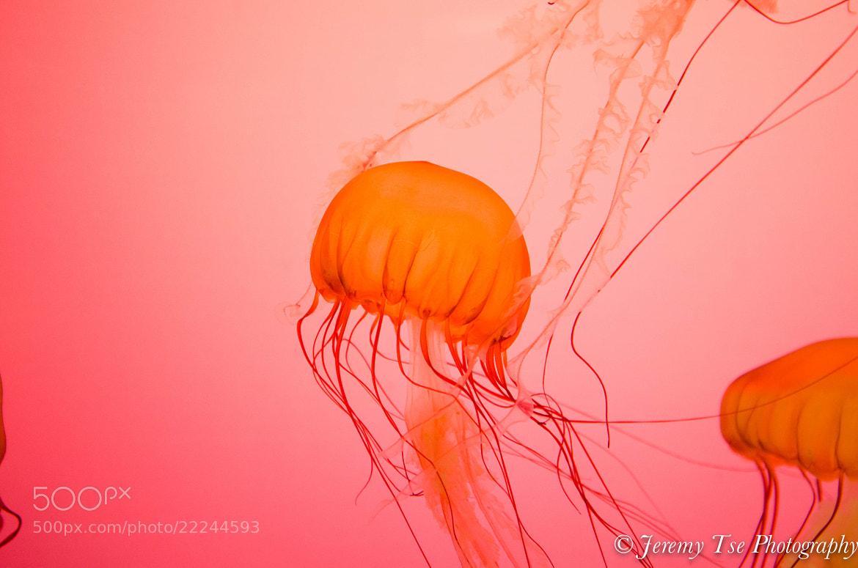Photograph Jellyfish at Shedd Aquarium, Chicago, Il by Jeremy Tse on 500px