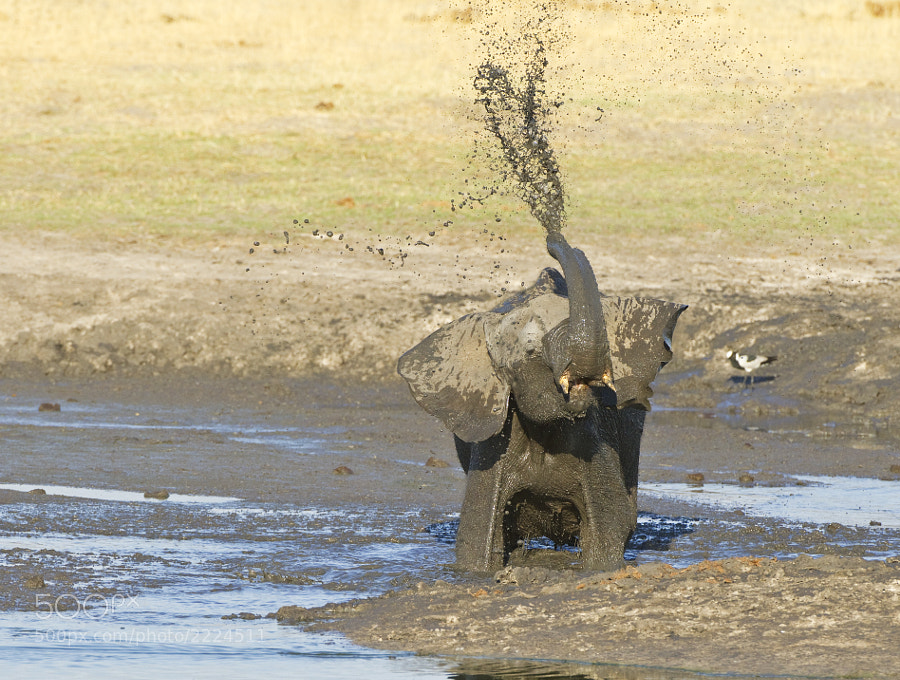 Young Elephant enjoys the water at Ngweshla waterhole, Hwange NP, Zimbabwe, 5th September 2011.