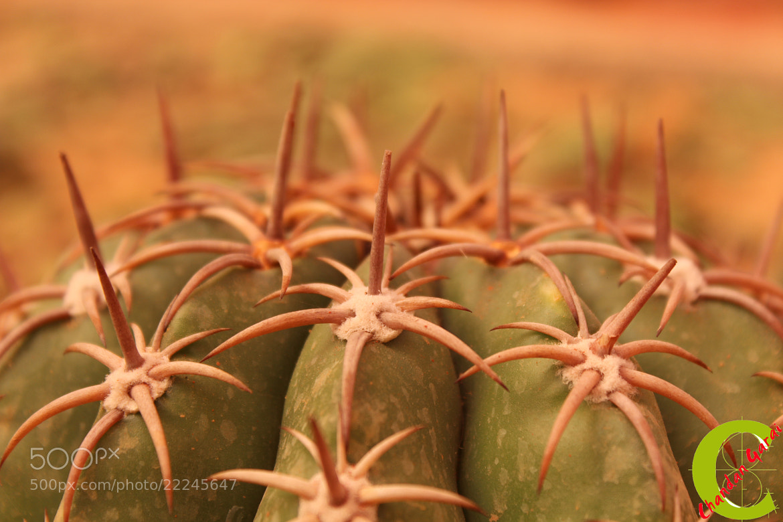 Photograph Strings of Cactus by CHANDAN GARAI on 500px