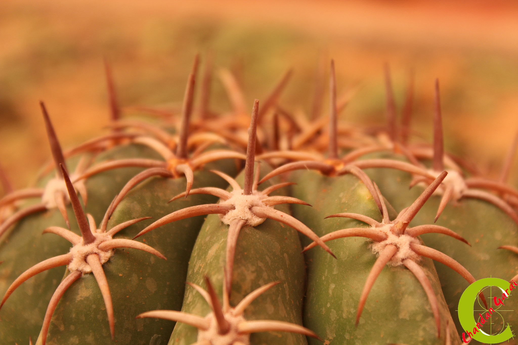 Photograph Strings of Cactus by CHANDAN GARAI on 500px